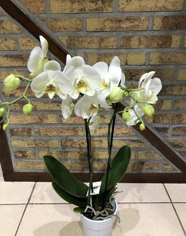 Orchidées 01