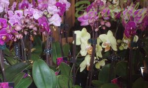 Fleuriste Butterfly - Orchidées